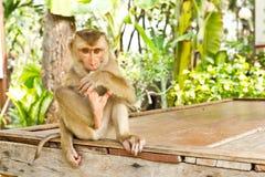 Monkey sit on table Stock Image