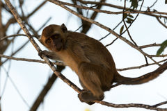 Monkey. The monkey  siting on the branch Stock Photos