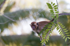 Monkey. The monkey  siting on the branch Royalty Free Stock Images