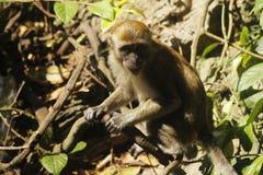 Wildlife monkey smile holding branch royalty free stock image