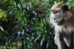 Wildlife Monkey looking down Close Up royalty free stock images