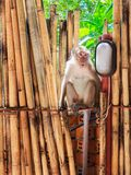 Monkey sits on bamboo fence. And wait for tourist to give food Stock Photo