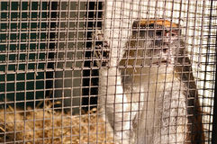 The monkey sits in a cage Royalty Free Stock Photo