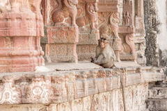 The monkey sits among the columns. The monkey sits among the pillars of the ancient temple Royalty Free Stock Photography