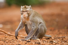 The monkey sits on the earth. The earth brown. A monkey wild. It is removed in thailand Royalty Free Stock Photography