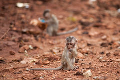 The monkey sits on the earth Stock Image