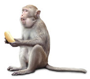 Monkey sits and eats banana. The monkey sits and eats banana. on white royalty free stock photos