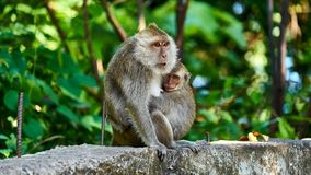 Monkey sits on a ground, looks at you royalty free stock image