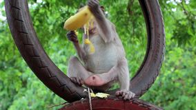 Monkey sits inside the wheel and eats banana stock footage