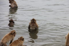 Monkey sits and looks into the sea. Monkey sits in the sea and watching the fish Royalty Free Stock Photos