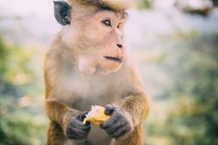 Monkey sits with piece of banana in paws. Close up royalty free stock photos