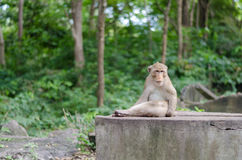 Monkey sits on the rock. This monkey is assigned to be security position to observe and secure the safety issue for monkey group Stock Image