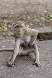 monkey sits on the rock Royalty Free Stock Image