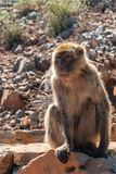 The monkey sits on the rocks stock image