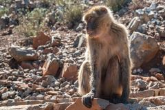 The monkey sits on the rocks royalty free stock images