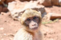 The monkey sits on the rocks and looks at someone stock photo