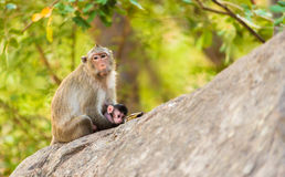 Monkey sits on stone holding its little baby Stock Photography