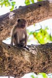 The monkey sits on a thick branch of a tree and looks somewhere Royalty Free Stock Photo