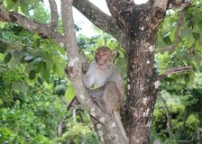 Monkey sits on a tree on monkey island on samui stock photo