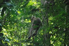 A monkey sits on a tree in the jungle of Thailand royalty free stock images
