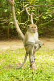 Monkey sitting. On a tree Royalty Free Stock Photos