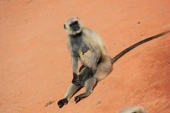 Monkey. A Monkey Sitting all Alone Stock Photography