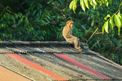 Monkey sitting all alone on the high roof with sun on its face, Royalty Free Stock Photos