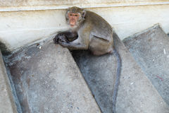 A monkey sitting alone Royalty Free Stock Photography