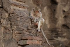 Monkey sitting on ancient damaged brick wall in the summer season, Candid old animal wildlife, mammal. On historical travel destination in Asia, home decoration Royalty Free Stock Images