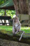 Monkey sitting on an ancient stone Stock Images