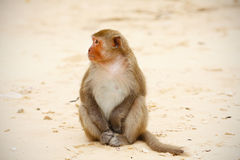 Monkey sitting on the beach, relaxed, observing Stock Image