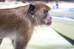 Monkey, sitting on a boat, in thailand Stock Photos