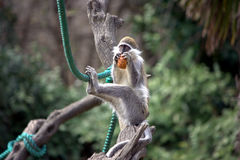 Monkey sitting on a branch 2 Royalty Free Stock Photos