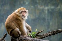 Monkey sitting on branch Royalty Free Stock Image