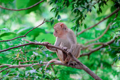 Monkey sitting branch Stock Photo