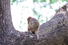 Monkey sitting branch Stock Photography