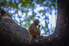 Monkey sitting branch Royalty Free Stock Photo