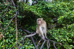 Monkey sitting on the branch of tree outdoor. Thailand animal royalty free stock photos