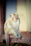Monkey sitting on a branch Royalty Free Stock Images