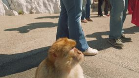 Monkey sitting on car and then jumps down and find its place among people stock footage