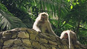 Monkey sitting and defending its territory. Monkey sitting on stone wall and defending its territory in Ubud Monkey Forest Sanctuary stock footage