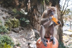 A monkey eating a banana. A monkey sitting down and eating a ripe banana looking into the camera royalty free stock photography