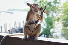 Monkey sitting and eating on the old wooden on the blur background. stock image