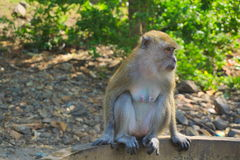 Monkey sitting on the edge of the pond. The Monkey from the jungle came down for food in the Park Royalty Free Stock Images