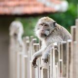 Monkey sitting on the fence Stock Photo