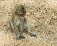 Monkey sitting on the floor. Royalty Free Stock Photos