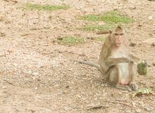 Monkey sitting on the floor. Royalty Free Stock Photography
