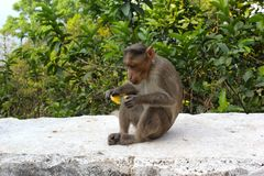 A monkey Sitting on the floor and having banana with tree background. A funny wildlife animal monkey is hurrying to eat a banana which it is holding in its royalty free stock photography