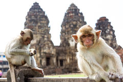 Monkey sitting in front of ancient pagoda architecture Wat Phra Prang Sam Yot temple, Lopburi, Thailand. Young rhesus macaque monkey ( Crab-eating or Long Stock Photos
