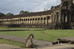 Monkey sitting in front od Angkor Wat temple stock photo